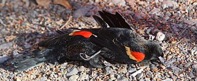 Una de las aves aparecidas en Beebe. | AP