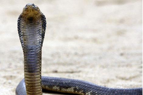 Una cobra egipcia.
