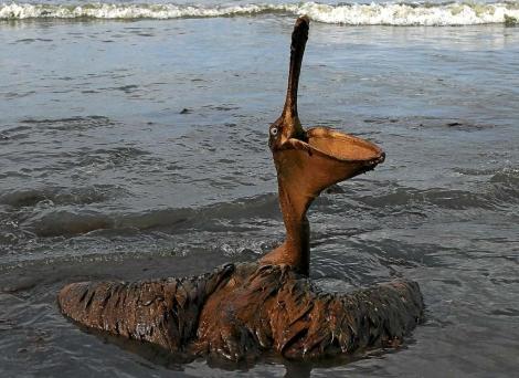 Pelícano afectado por la marea de crudo. | Afp