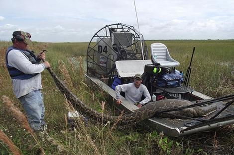 La pitón capturada en los Everglades. | Sun Sentinel