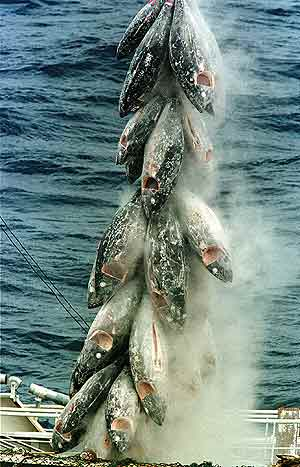 Unos atunes recién pescados son cargados en un barco. (Goto: Greenpeace)