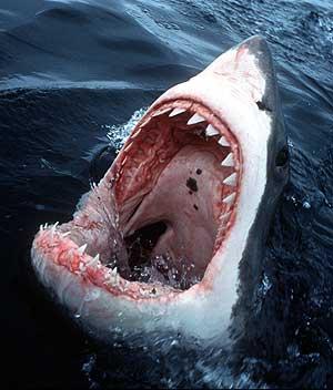 Imagen de un tiburón. (Foto: AP)
