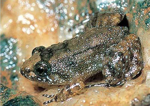 nueva rana descubierta en India