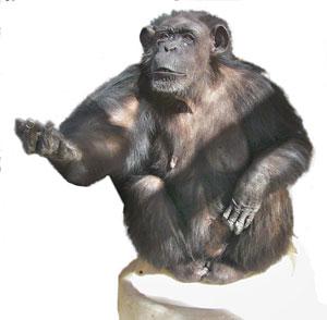 Uno de los chimpancés del experimento reclama comida con un gesto (Foto: Jared Taglialatela)