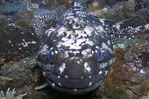 Un bacalao antártico en marzo de 2008. (Foto: REUTERS)