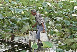 Un habitante birmano llena dos bidones de agua en un estanque repleto de flores de loto en Dala Township, al sur de Yangon, Birmania. (EFE)