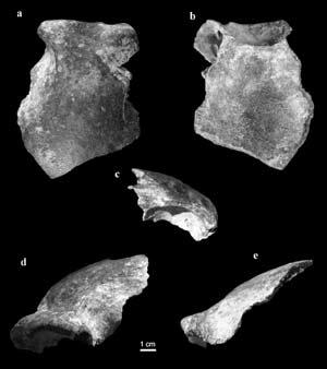 Fósil del cráneo, con diferentes perspectivas (Foto: M. Domínguez-Rodrigo)