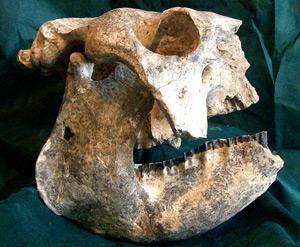 Cráneo de uno de los armadillos gigantes descubiertos en Argentina. (Foto: Museo Paleontológico de San Pedro)