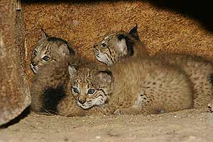 Linces en Doana