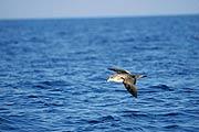 Una pardela cenicienta planea sobre las olas aprovechando el impulso que le proporciona el viento. (Foto: Jacob González-Solis)