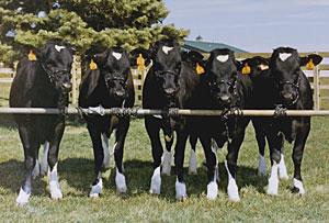 Vacas clonadas en una granja de Iowa, en una imagen de archivo. (Foto: Advanced Cell Technologies)
