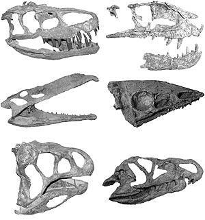 Una serie de cráneos de diferentes arcosaurios crurotarsales, los mayores competidores de los dinosaurios en el Triásico tardío. (Foto: Stephen Brusatte | Columbia University)