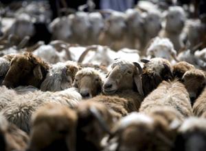 Ovejas en el mercado de ganado de Kashgar. (Foto: Diego Azubel)