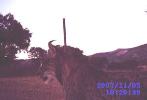 Imagen de un lince captada con cámara de fototrampeo. (Foto: Junta de Castilla-La Mancha)