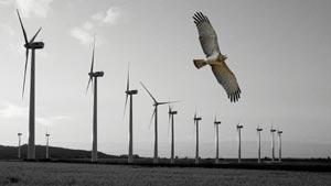 Un milano real sobrevuela las cercanías de un parque generador de esta energía limpia cerca de Tarifa. (Foto: Luis Barrios)