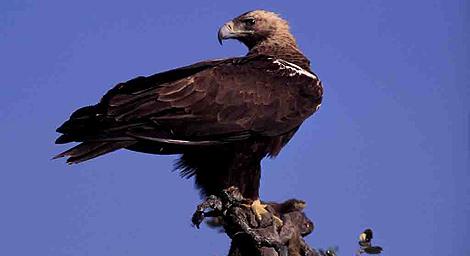 Un ejemplar adulto de águila imperial. | Junta de Andalucía