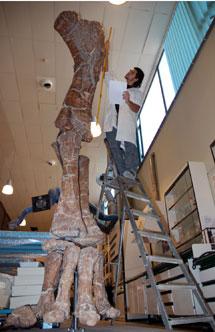 Huesos hallados en Teruel del 'Turiasaurus riodevensis', el mayor dinosaurio descubierto en Europa. | Dinópolis