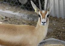 Una gacela dorcas. | Foto: CSIC