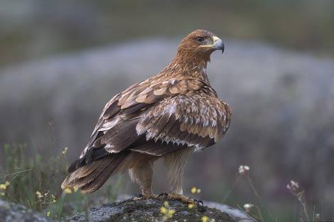 Un águila imperial. | SEO/BirdLife