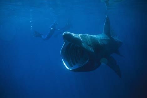 Un tiburón peregrino junto a un buzo.| Chris Gotschalk