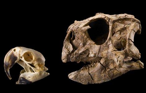 Cabeza de un loro y del 'Psittacosaurus gobiensis'. / Paul Sereno