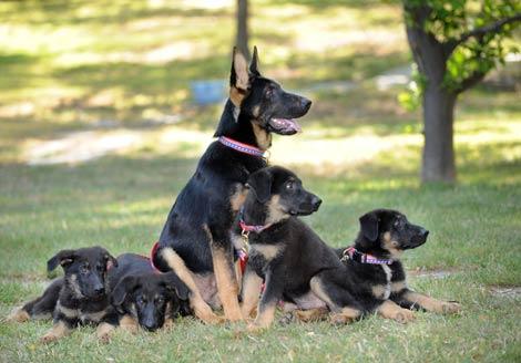 El pastor alemán 'heroico' junto a sus cachorros clonados. | AFP