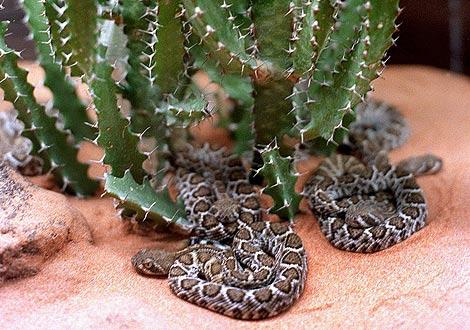 Crías de serpiente cascabel, de la especie tejana 'crotalus atrox'. | Efe