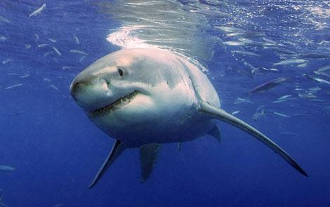 Un tiburón blanco, fotografiado cerca de Guadalupe (México). | AP