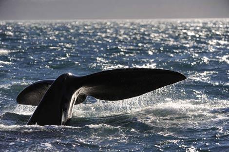 Una ballena franca austral vista en la costa de la Patagonia argentina. | Reuters