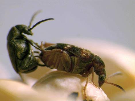 Una hembra (derecha) y un macho de 'Callosobruchus maculatus' en posición de apareamiento. | Fleur Champion de Crespigny