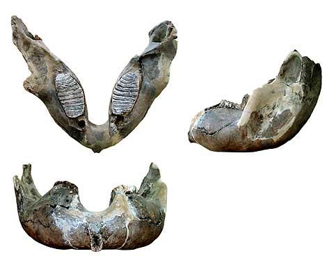 Mandíbula del mamut en tres vistas. | Diego Álvarez / FYCIT.