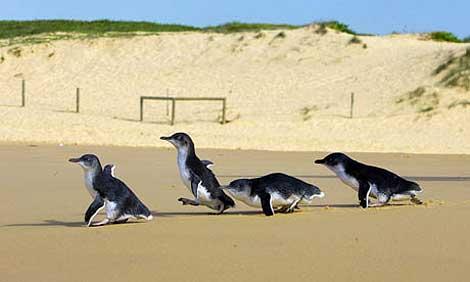 Pingüinos en una playa de Sydney. | Foto: Reuters.