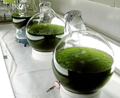 Probetas con microalgas cultivadas para biocombustibles por Biofuel Systems, en Alicante.
