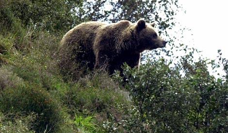 Hembra de oso pardo en Asturias, |EFE