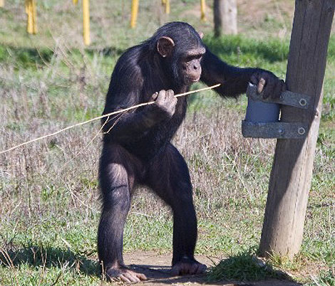 El mono Juanito durante una de las actividades con el termitero. | Miquel Llorente, F. Mona - IPHES