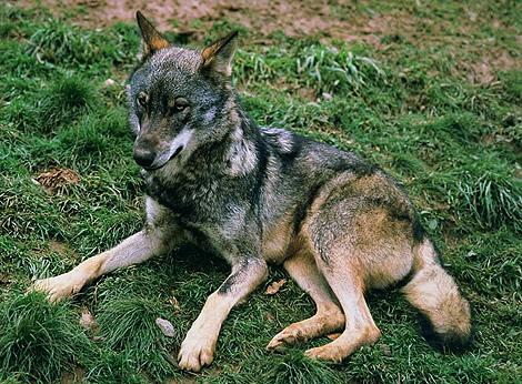 Un lobo descansa en Picos de Europa. | Luis Montoto / CENEAM