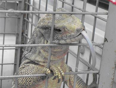 Encuentran un ejemplar de lagarto gigante africano en Matadepera 1283511873_extras_portadilla_0