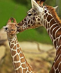 Dos jirafas dándose un beso.