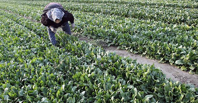 Un agricultor en un campo de espinacas en la prefectura de Ibaragi. | Reuters