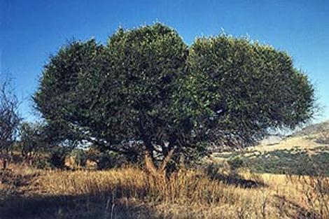 Olivo salvaje africano, en peligro de extinción.