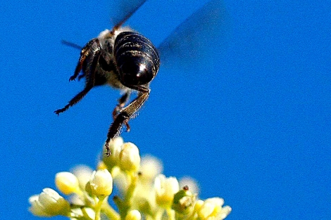 Una abeja liba de las flores de un pimentero en Ciudad del Cabo.   Efe