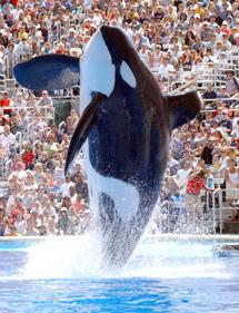 Ulises, la orca más famosa de Barcelona, luce palmito en San Diego. | SeaWorld