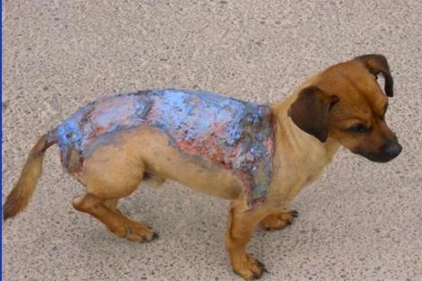 Perro con quemaduras rociado con líquido inflamable.|ELMUNDO.es