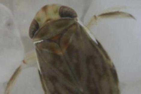 Imagen de un ejemplar de 'Micronecta scholtzi'.| Universidad de Strathclyde