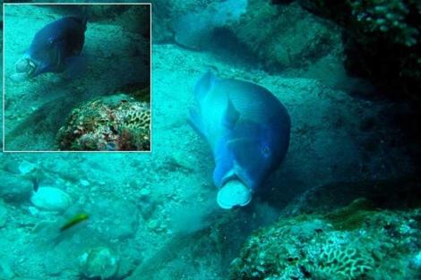 Imagen de 'Choerodon schoenleinii' mientras golpea la almeja.| Scott Gardner/Coral Reefs