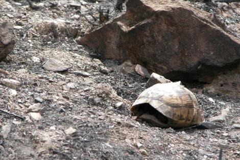 Un ejemplar de tortuga mora tras el incendio de la Sierra de la Carrasquilla.| Andrés Giménez