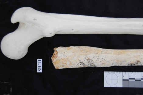 Fémur de un homínido de hace 500.000 años hallado en Atapuerca.|Atapuerca-EIA