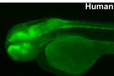 Embrión de pez cebra con un secuencia de ADN humano.|CSIC