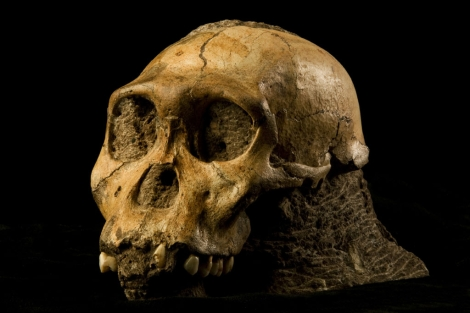 Fsil del crneo de 'Australopithecus sediba'. | Science