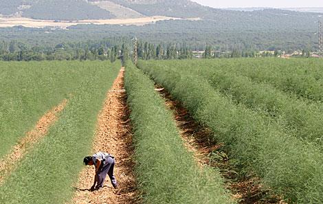 Un campo de cultivo de espárragos en Valladolid.